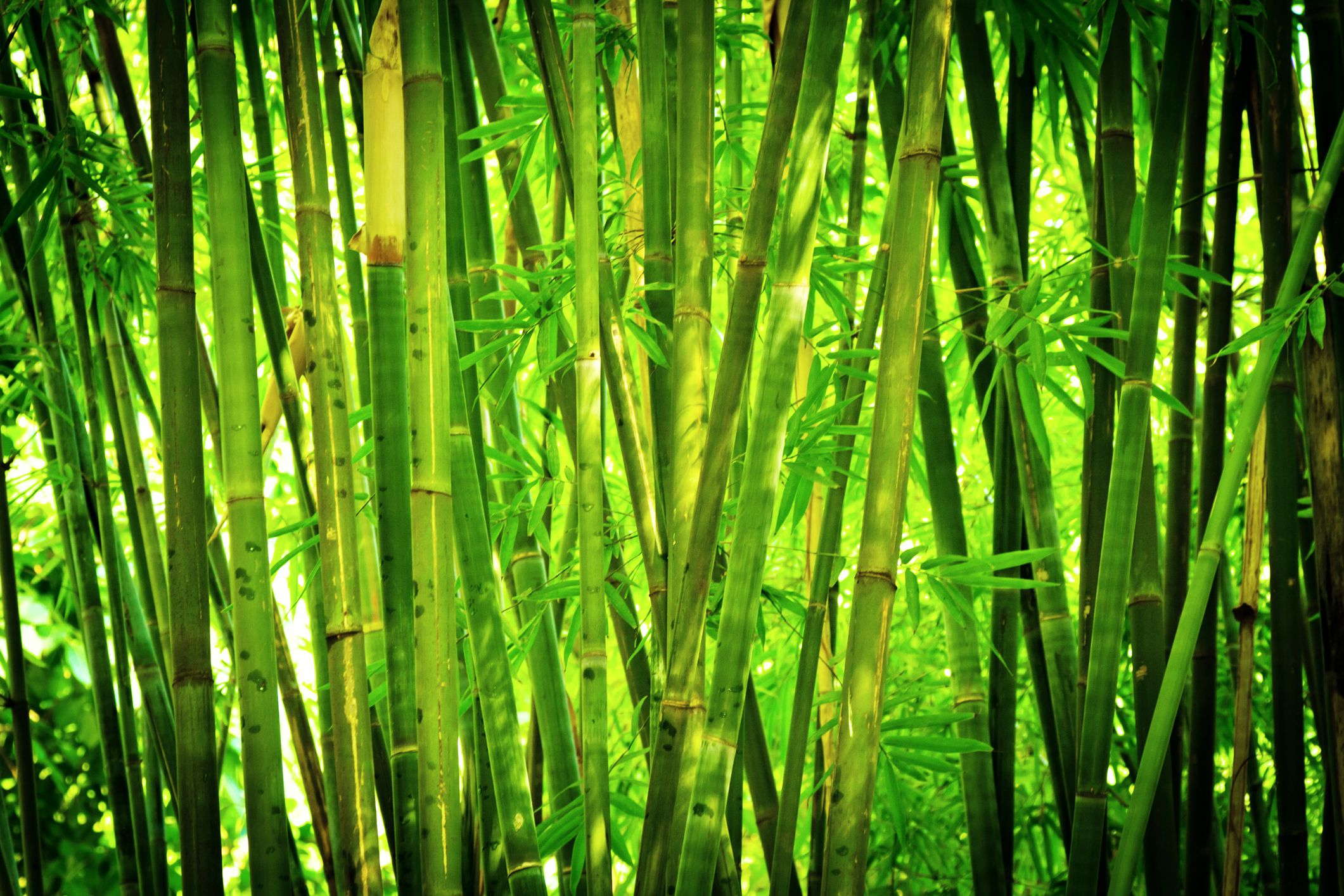 A Bamboo Hedges As A Noise Barrier