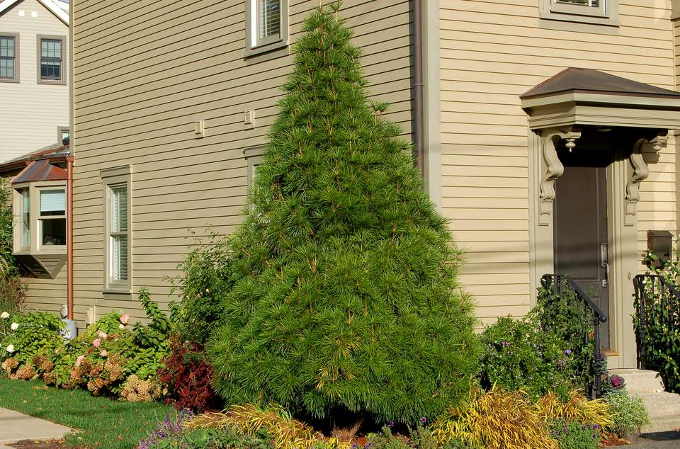 A Japanese umbrella pine tree in a foundation bed next to a house.