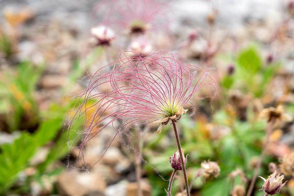 Prairie smoke plant with wispy, feather-like achenes on thin stem