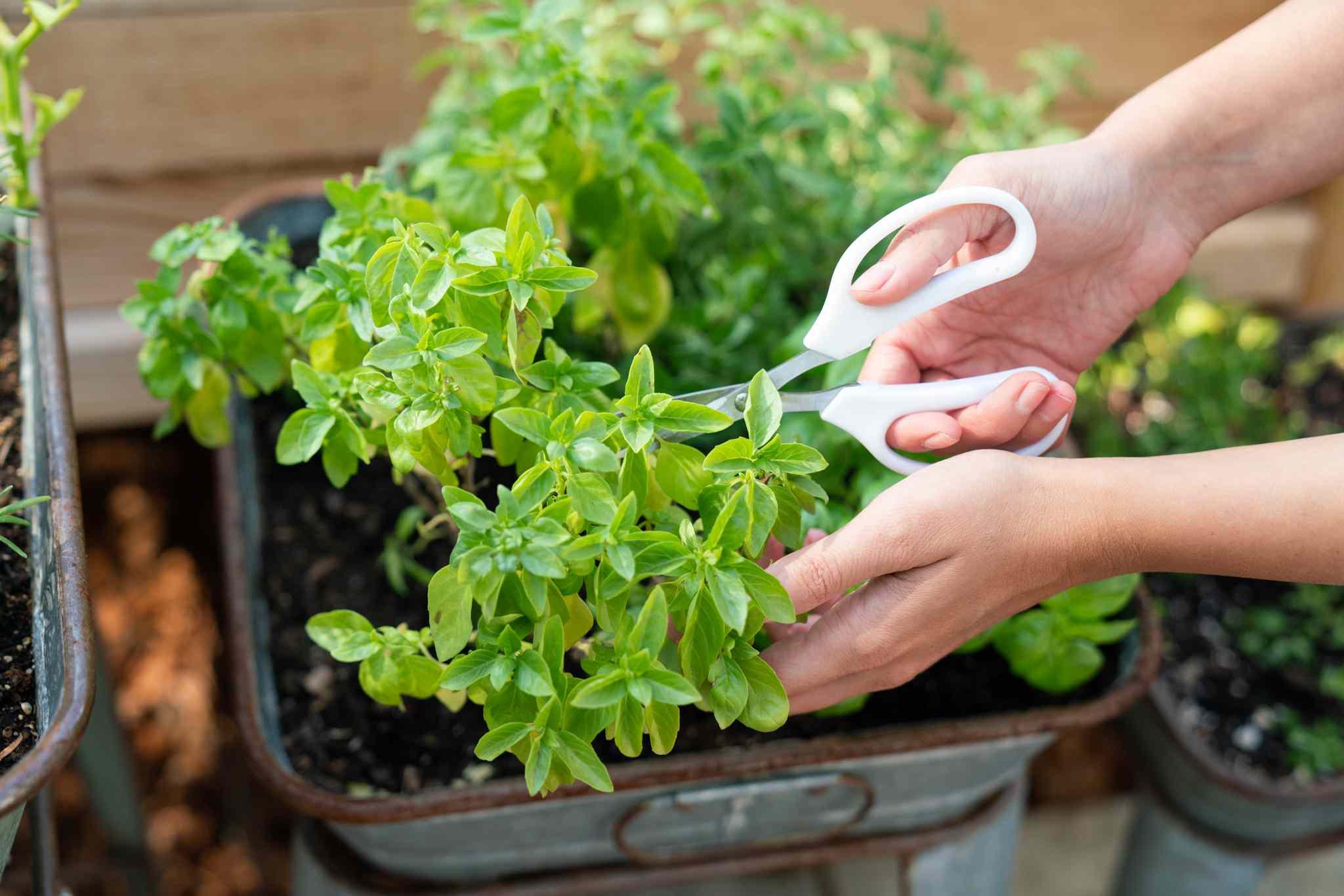 pruning herbs