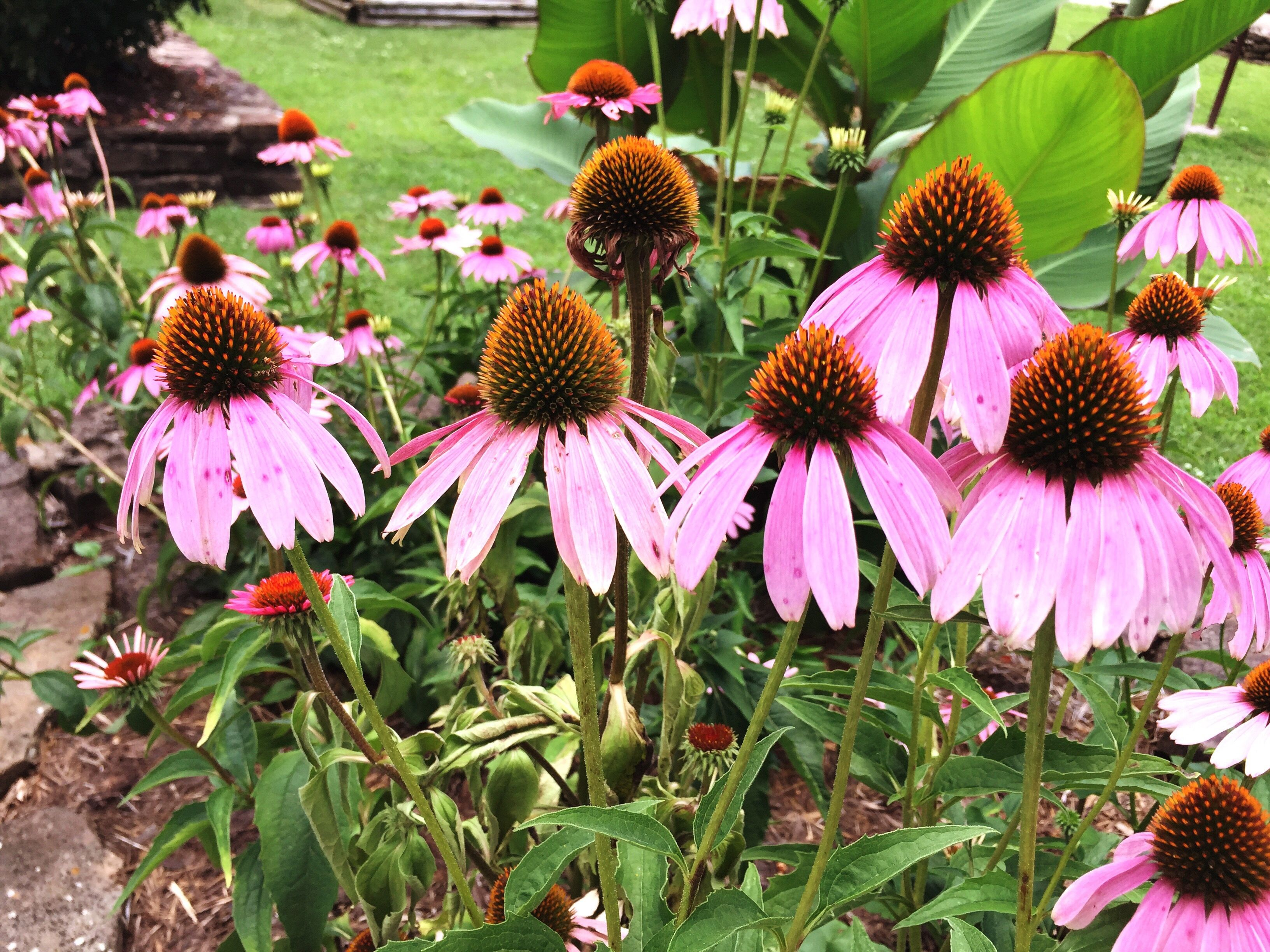 Growing And Caring For Purple Coneflowers Echinacea