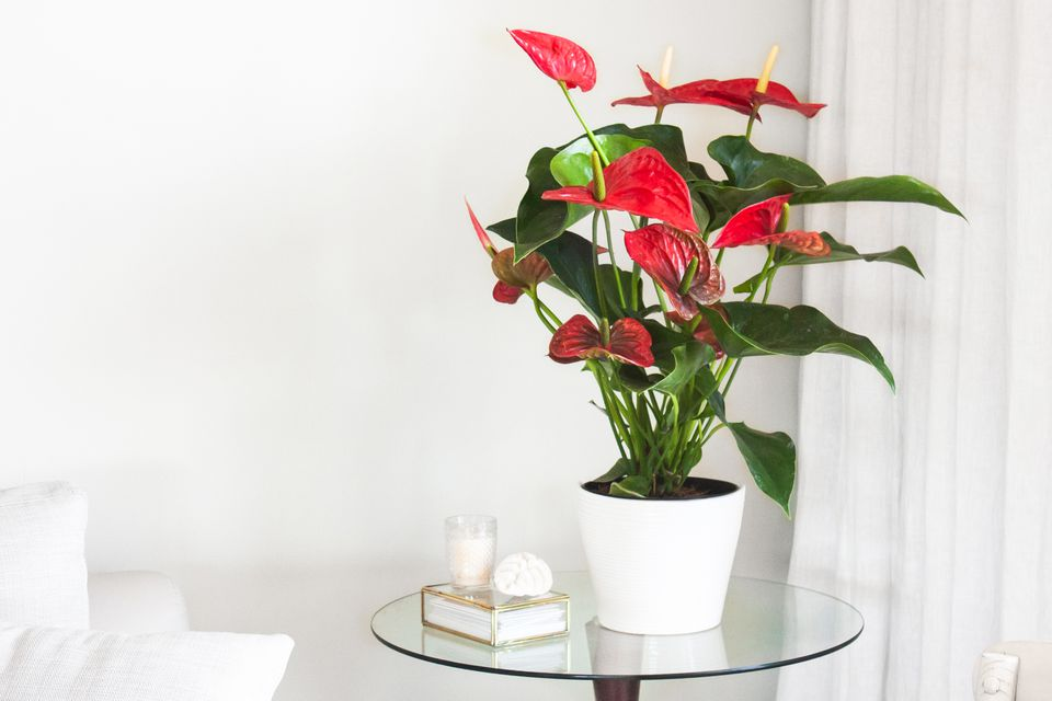 vase of anthurium flowers
