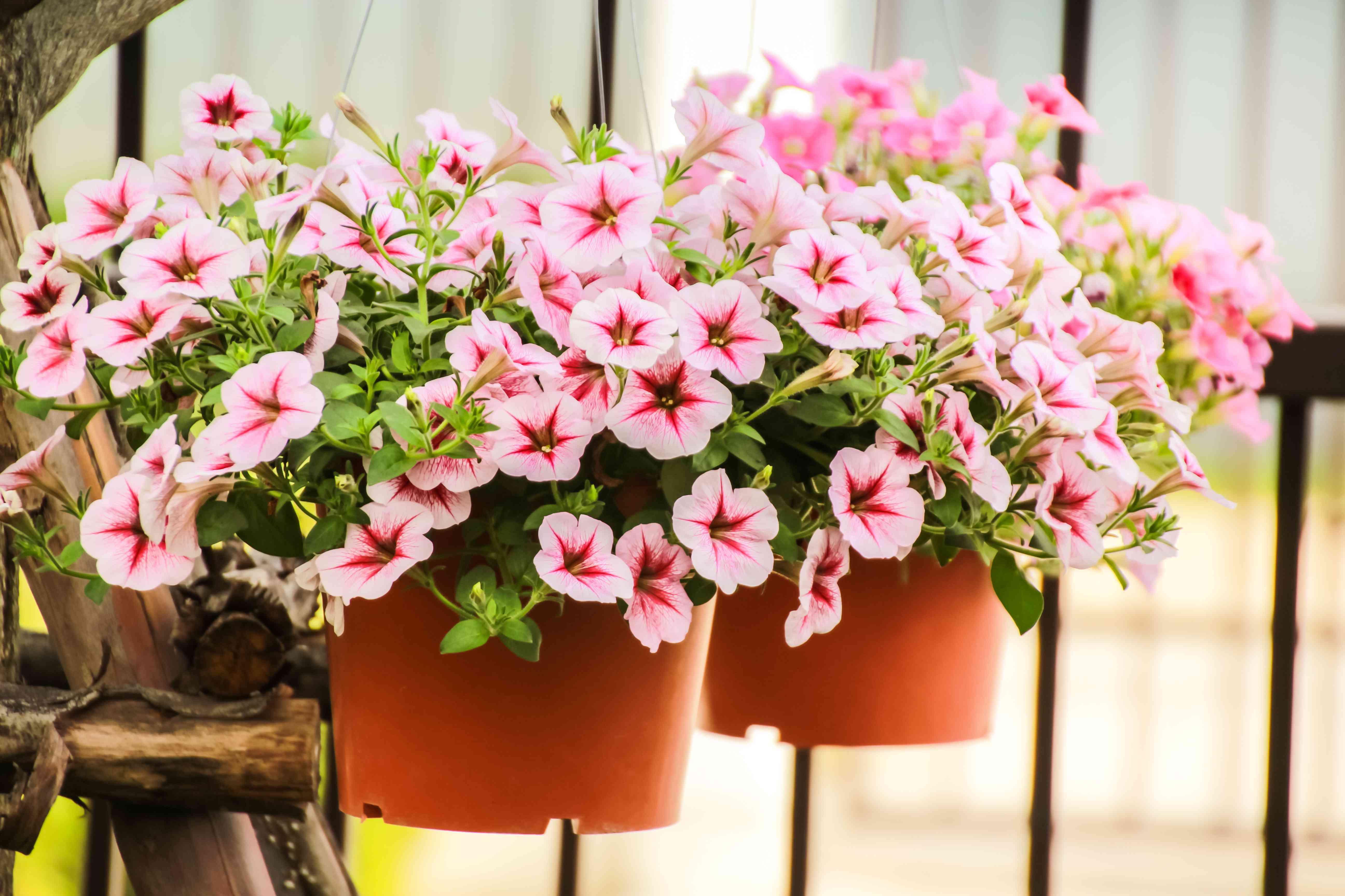 Closed up Petunia flower, pink petunia flower