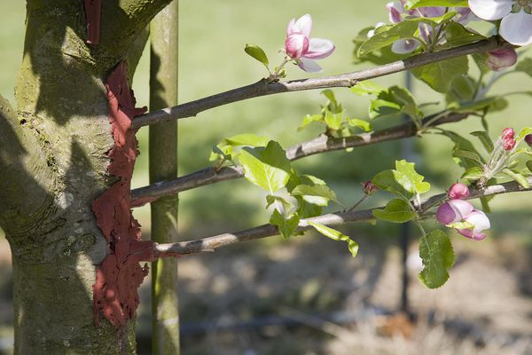 Grafts for a replacement arm on an apple tree