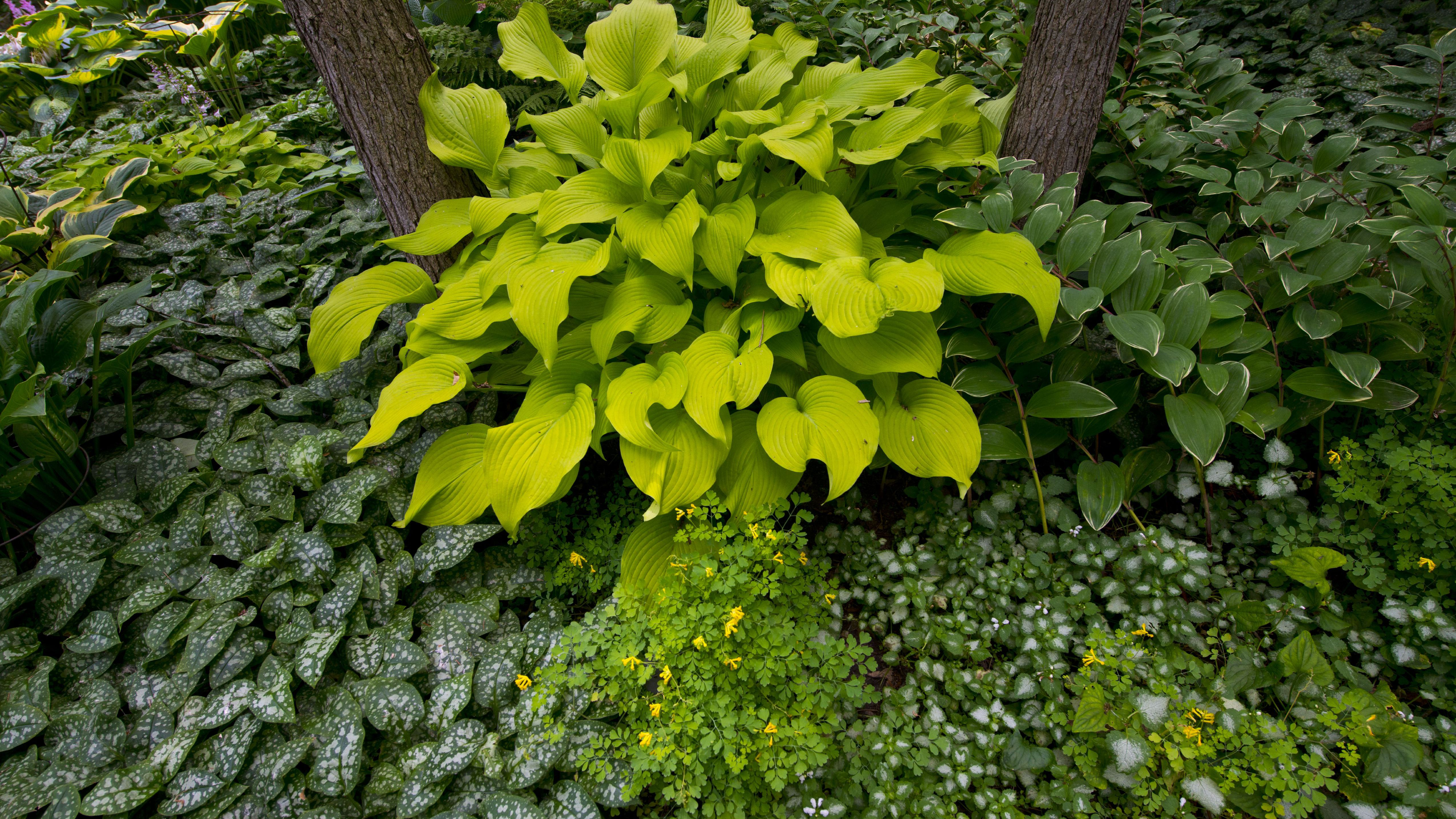Hosta Plant Care And Growing Guide