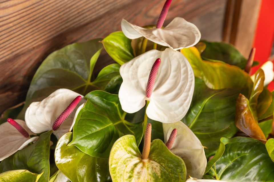 Anthurium tropical flower with red spikes in middle of white bracts and surrounded by leaves