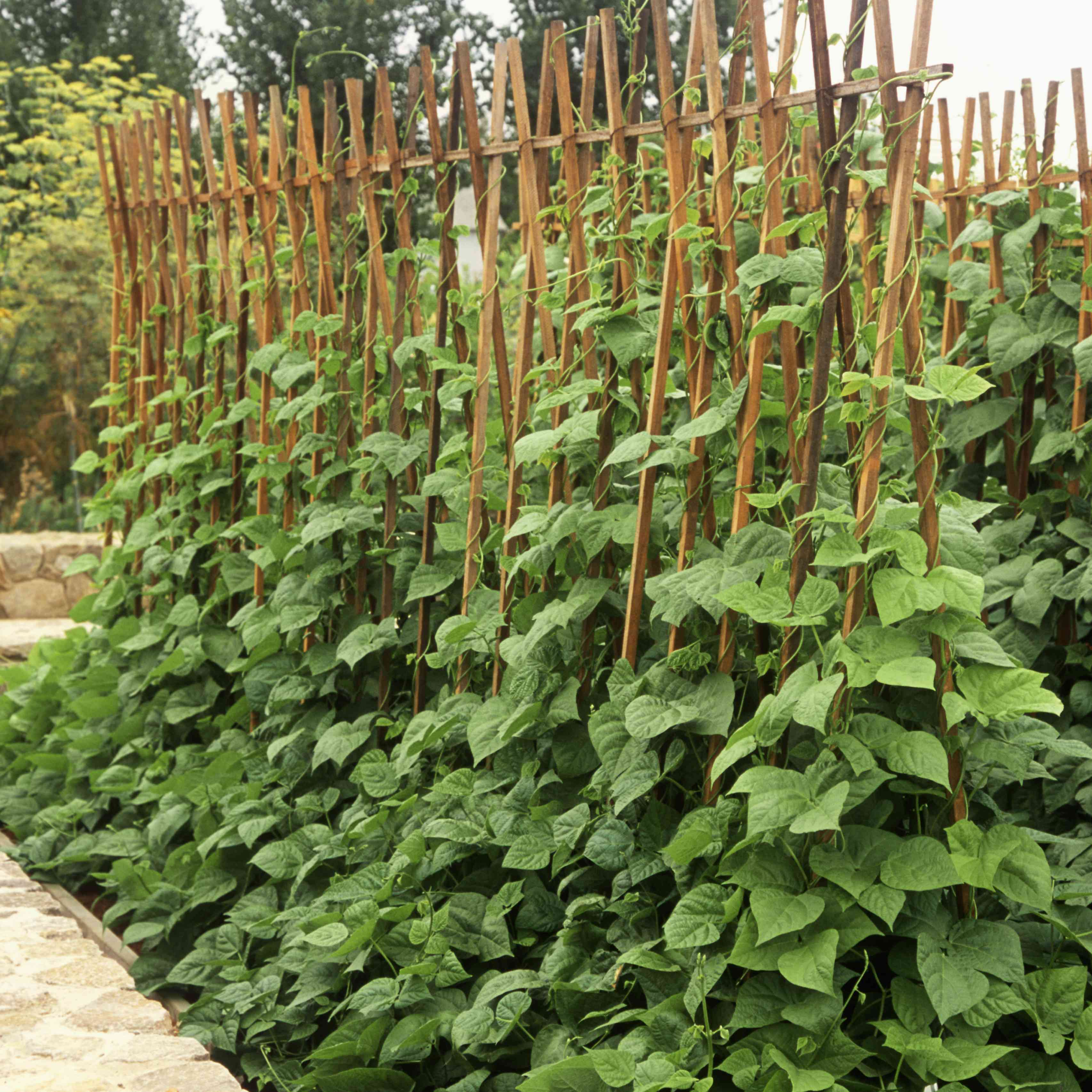 Pole beans in the garden