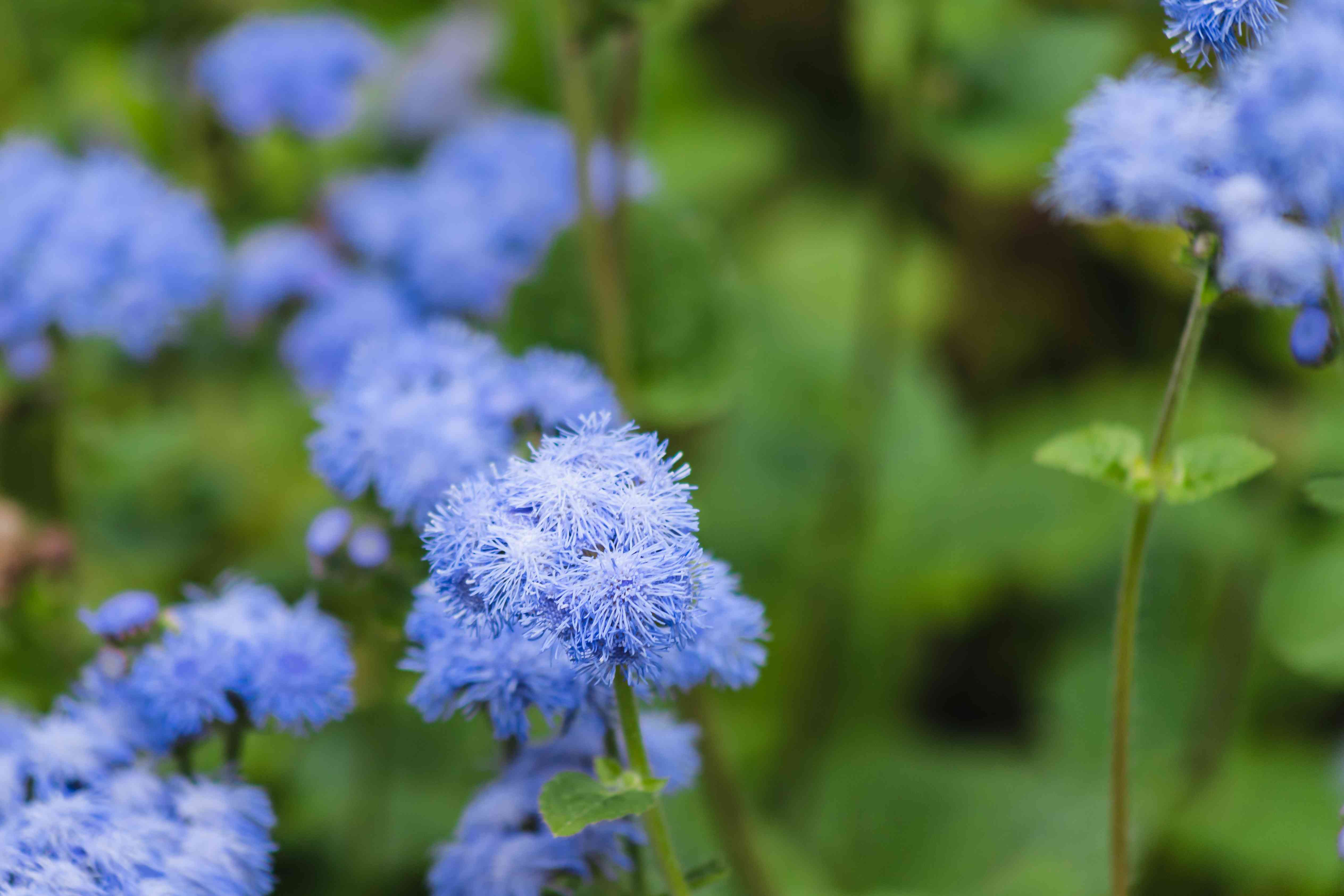Blue ageratum with blue flowers in front of leaves