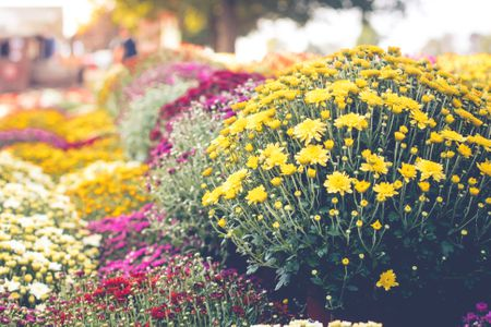 Growing hardy mums chrysanthemums for your garden colorful chrysanthemums in autumn mightylinksfo