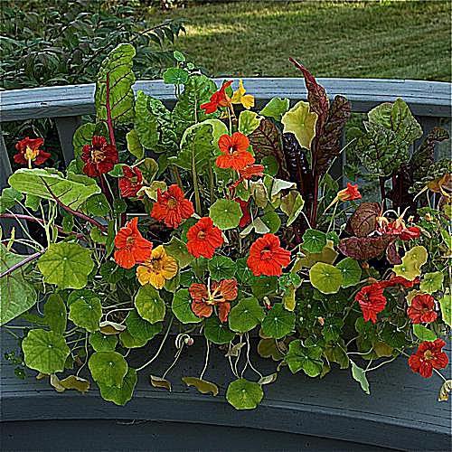 imagen de jardinería en contenedor de flor de la pasión, 'Lavender Lady'
