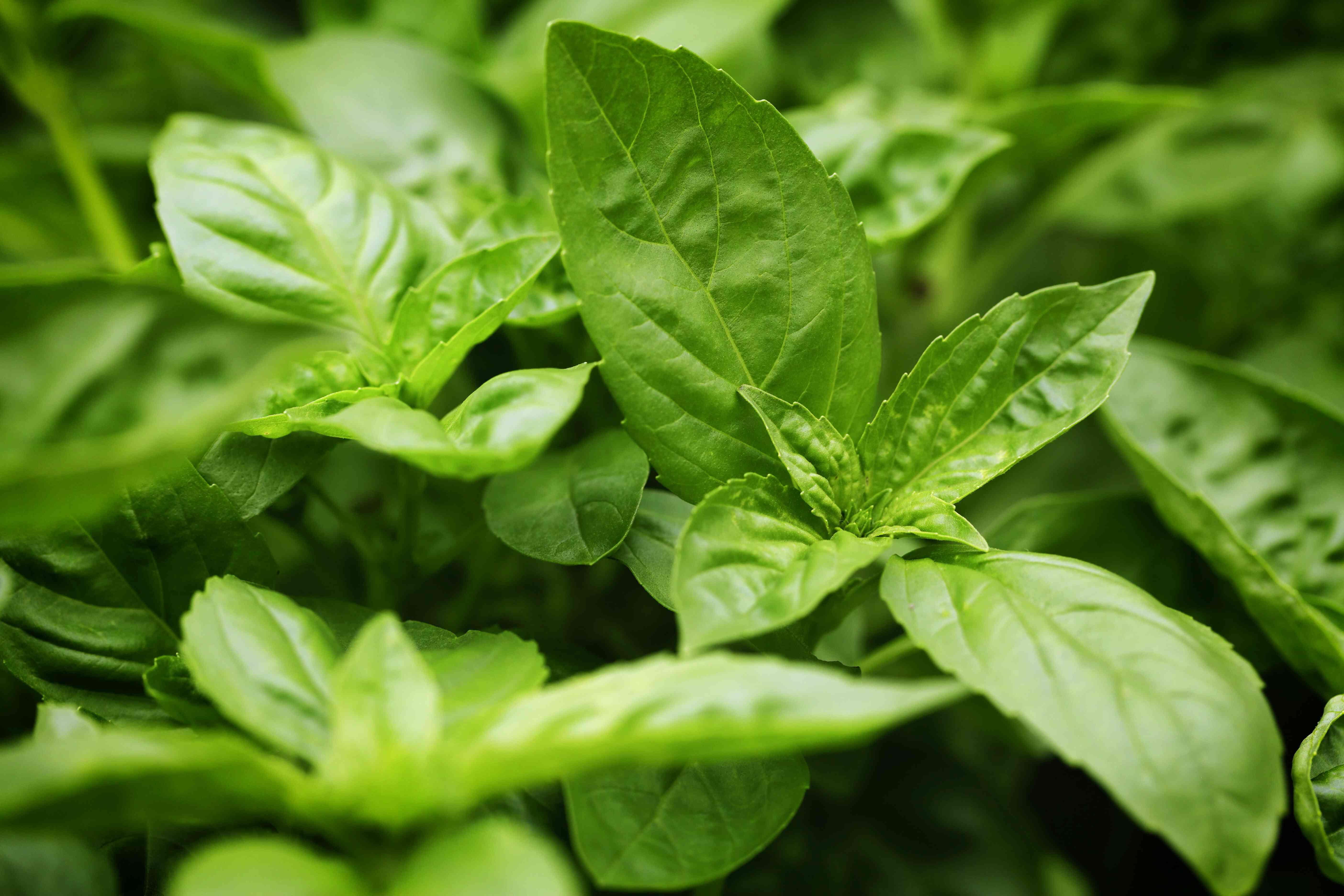Basil Herb Food Seasoning Plant Part Herb Garden
