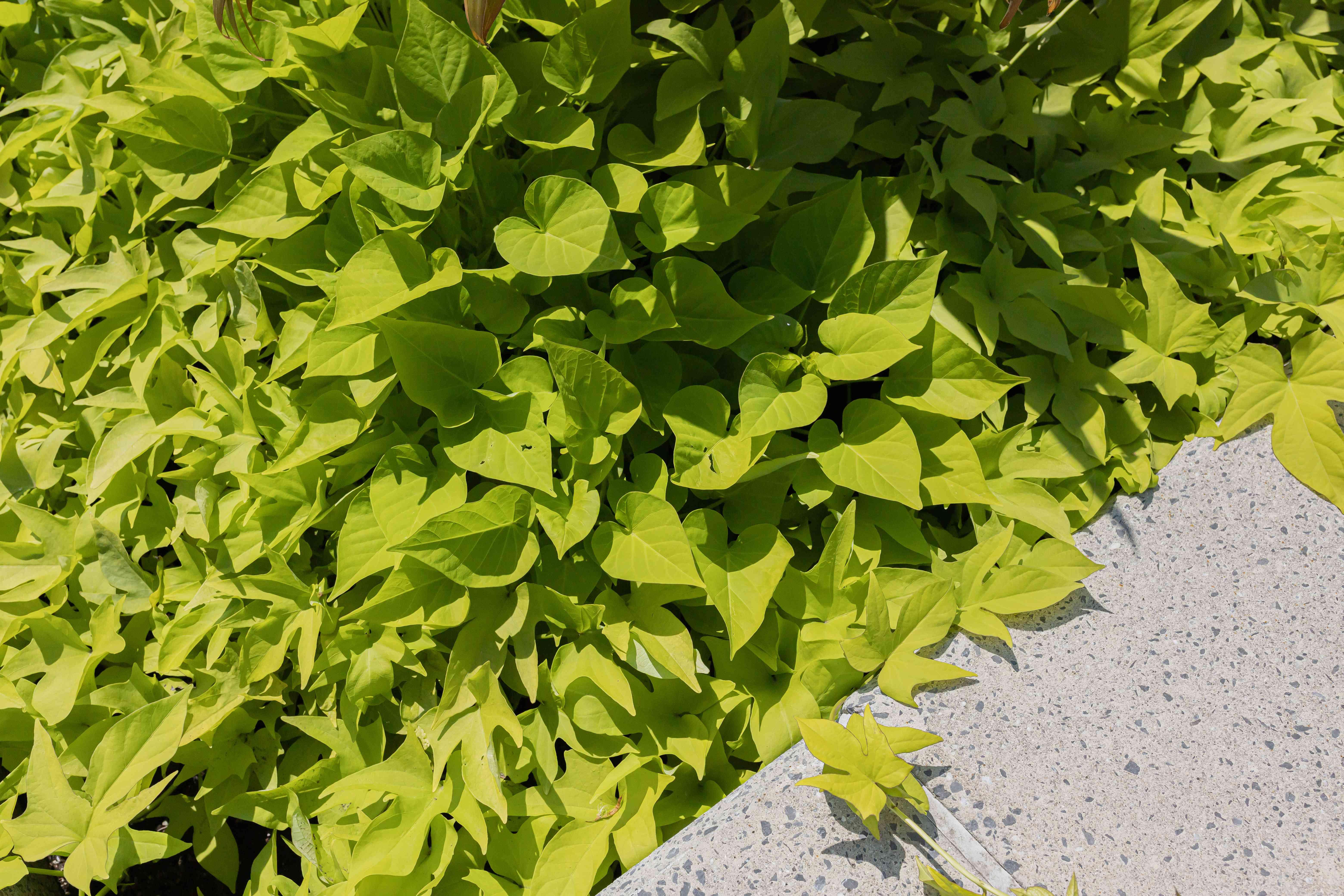 sweet potato vine in a landscape