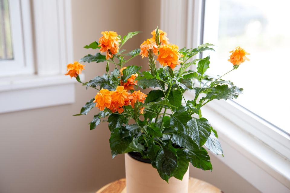 crossandra growing as a houseplant