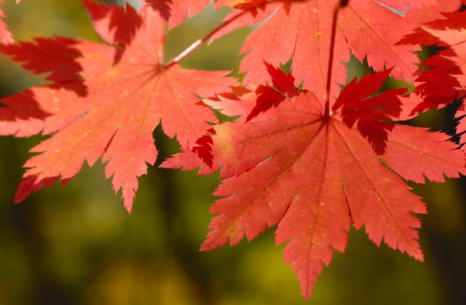 Autumn Korean Maple Leaves