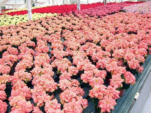 poinsettias de rosa de invierno en rosa, mármol, crema y rojo