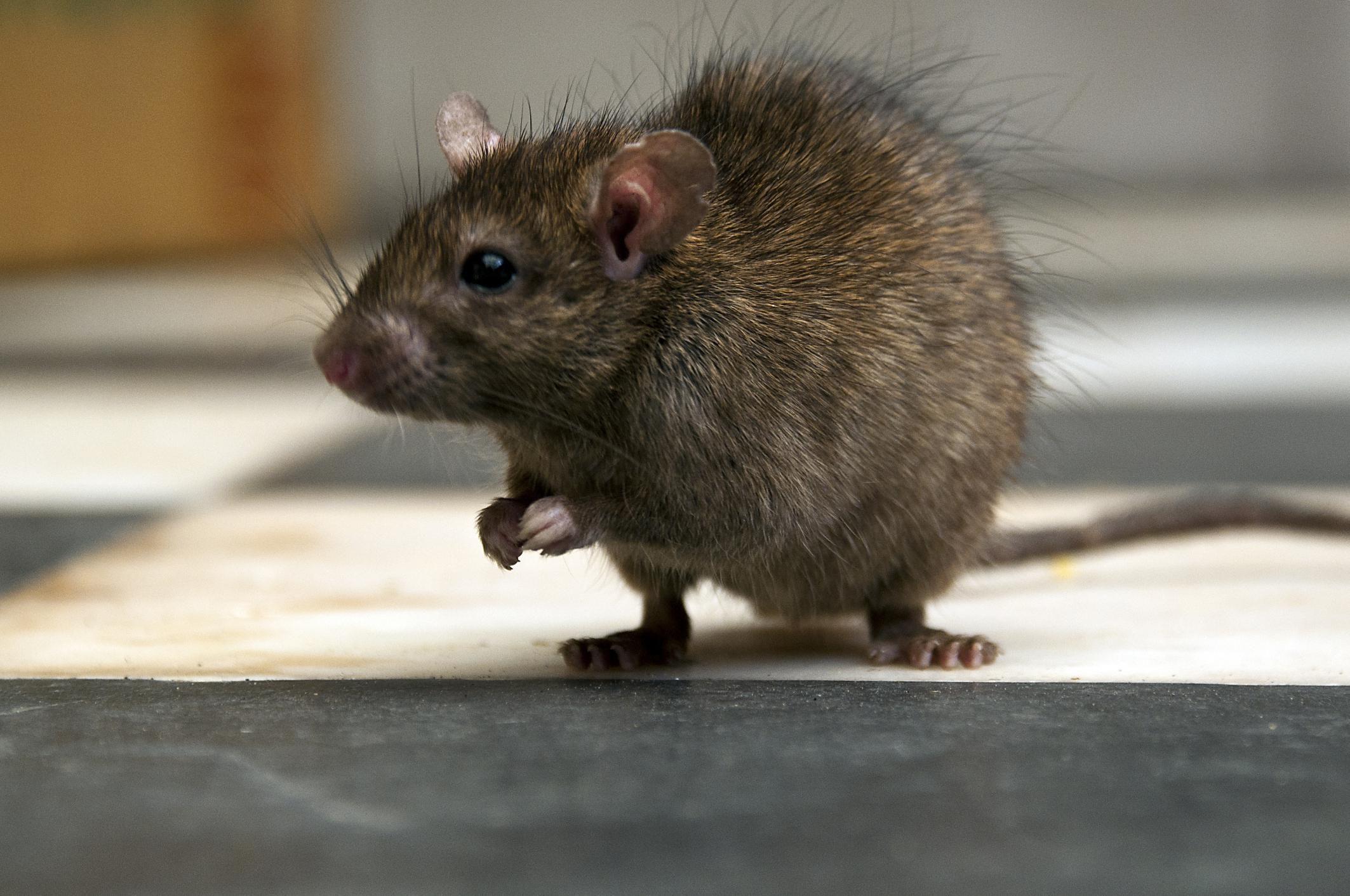 Where To Put Rat Traps And 10 More Rat Qas