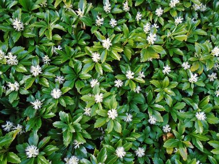 Flowering ground covers pictures and growing tips pachysandra ground cover in bloom mightylinksfo