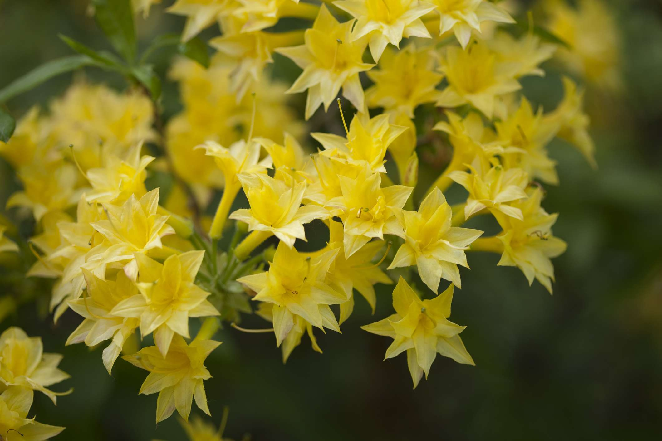 10 Best Shrubs With Yellow Flowers