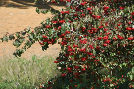 Botanical Facts About Washington Hawthorn Trees