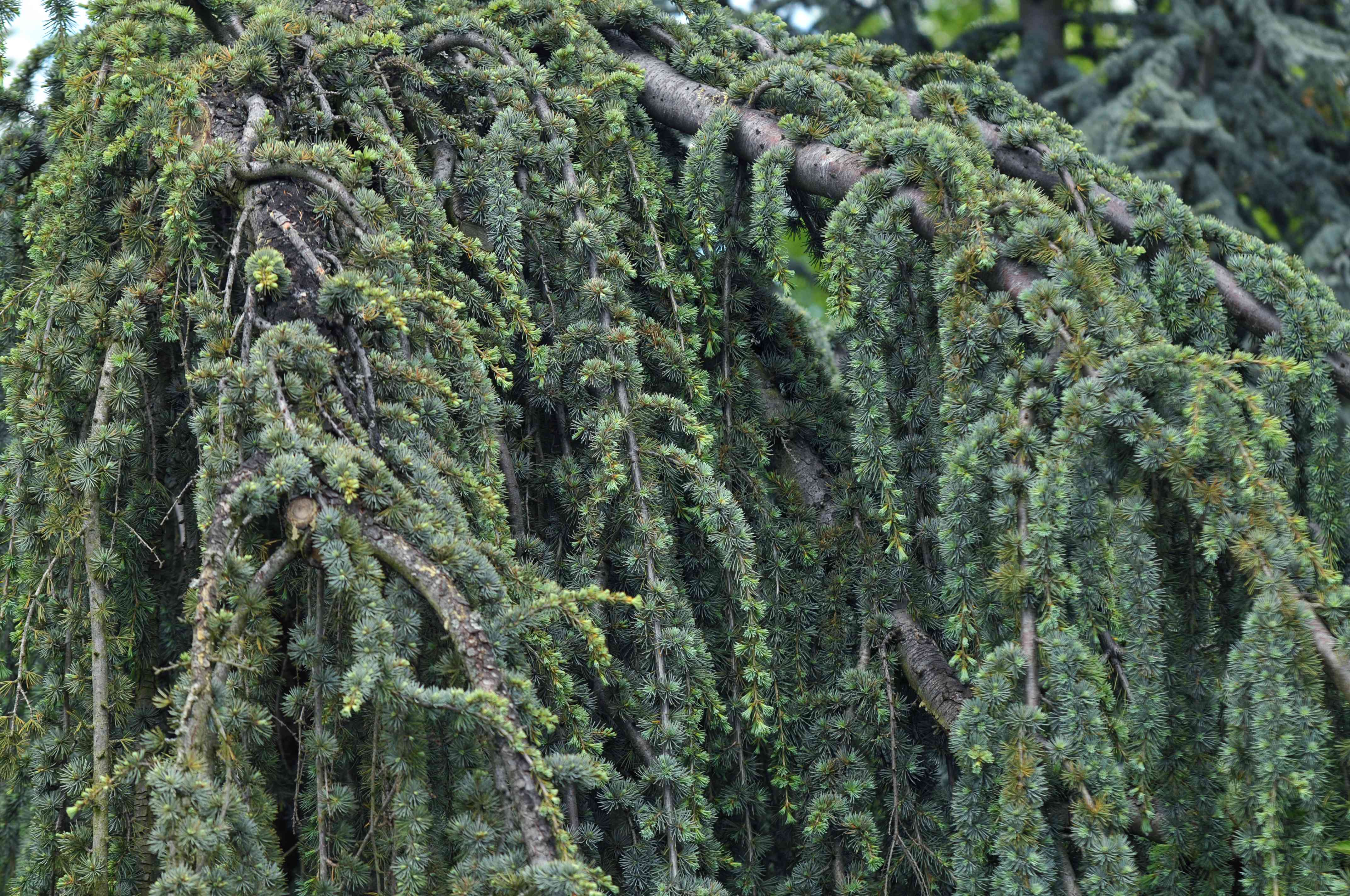 Blue atlas cedar with drooping and twisted branches with evergreen needles