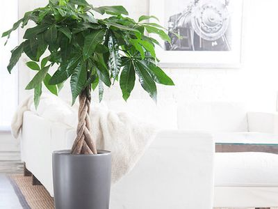 Which Money Tree Is the Best Feng Shui Money Cure?