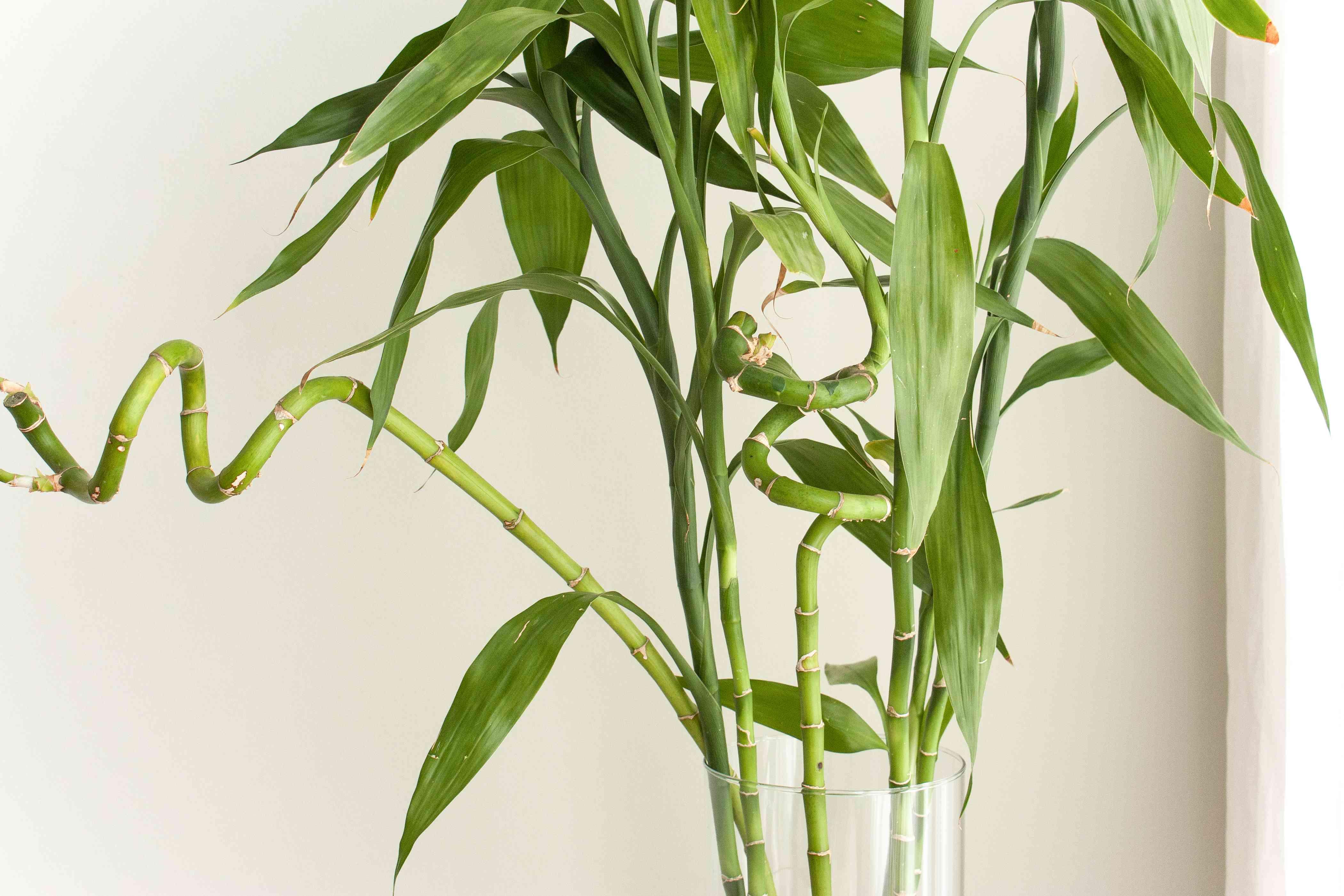 closeup shot of a lucky bamboo