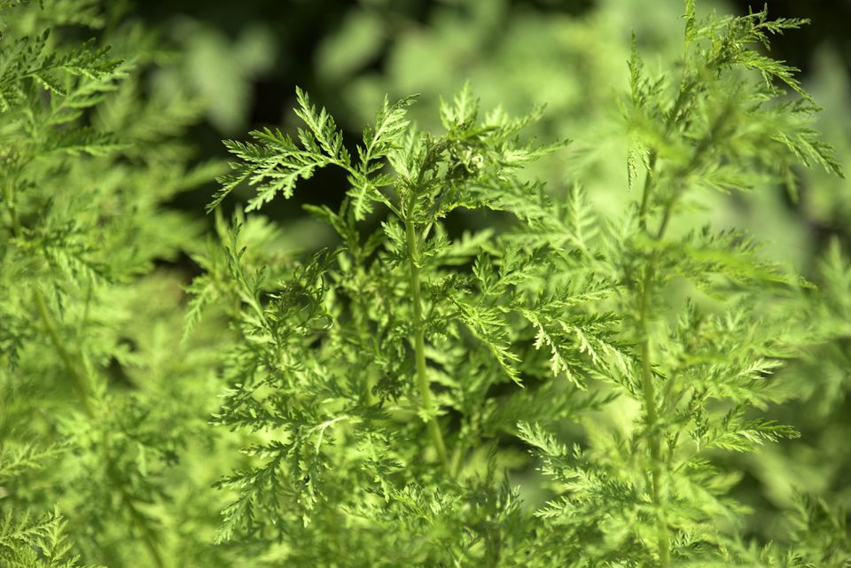 Sweet annie plant with bright green lacy leaves on thin stems closeup