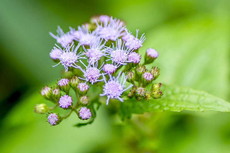 Blue mistflowers with clusters of fuzzy purple-blue flowers and buds closeup