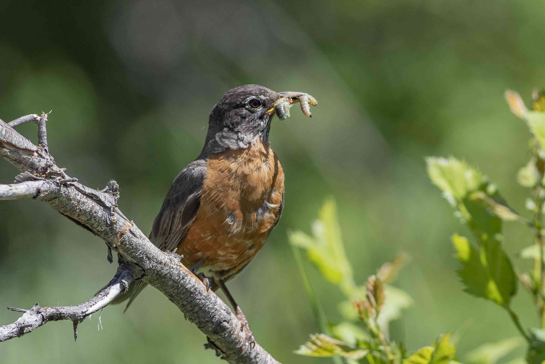 robin feeding on worms