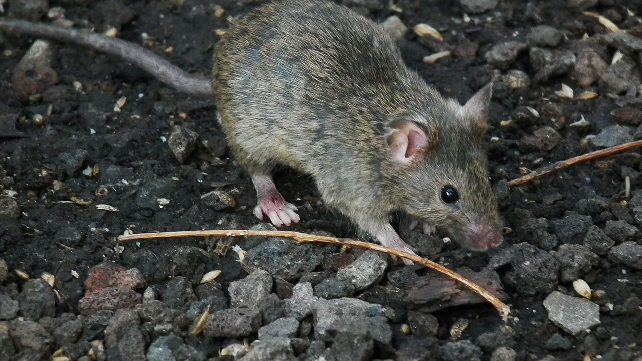 Rats And Mice The Damage They Cause