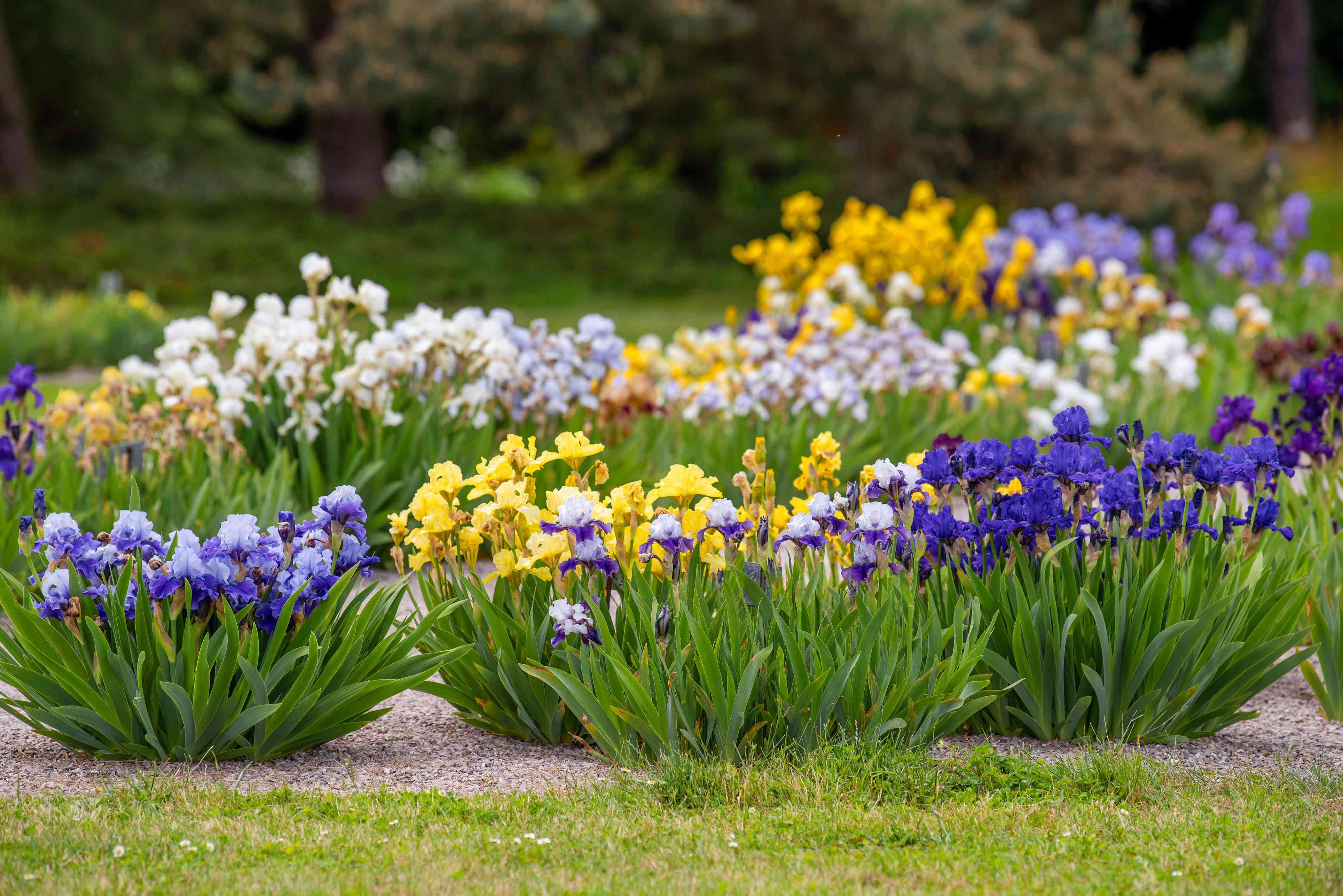 Iris flowers with purple, yellow and white petals on clustered stalks in garden