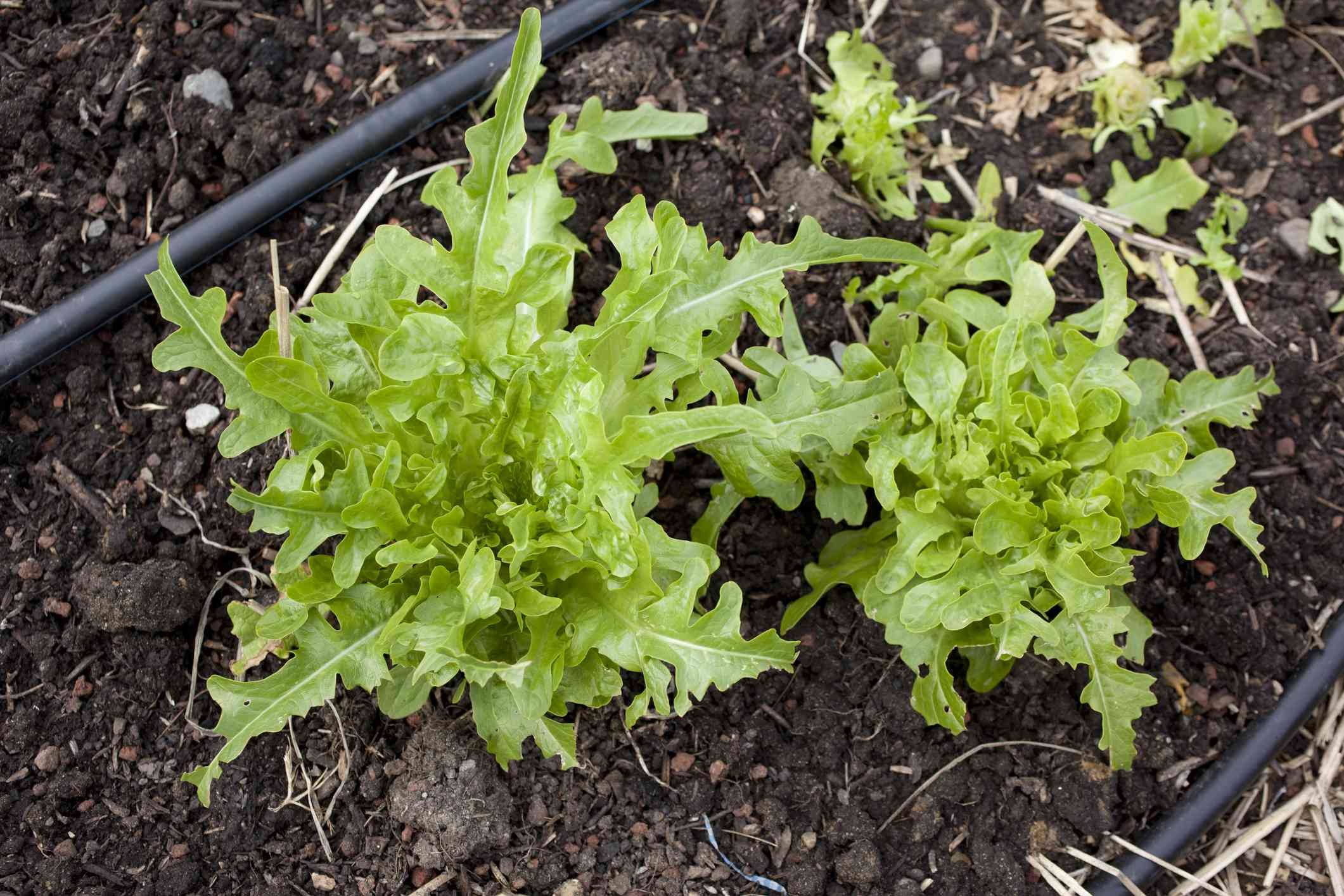 arugula growing in a garden