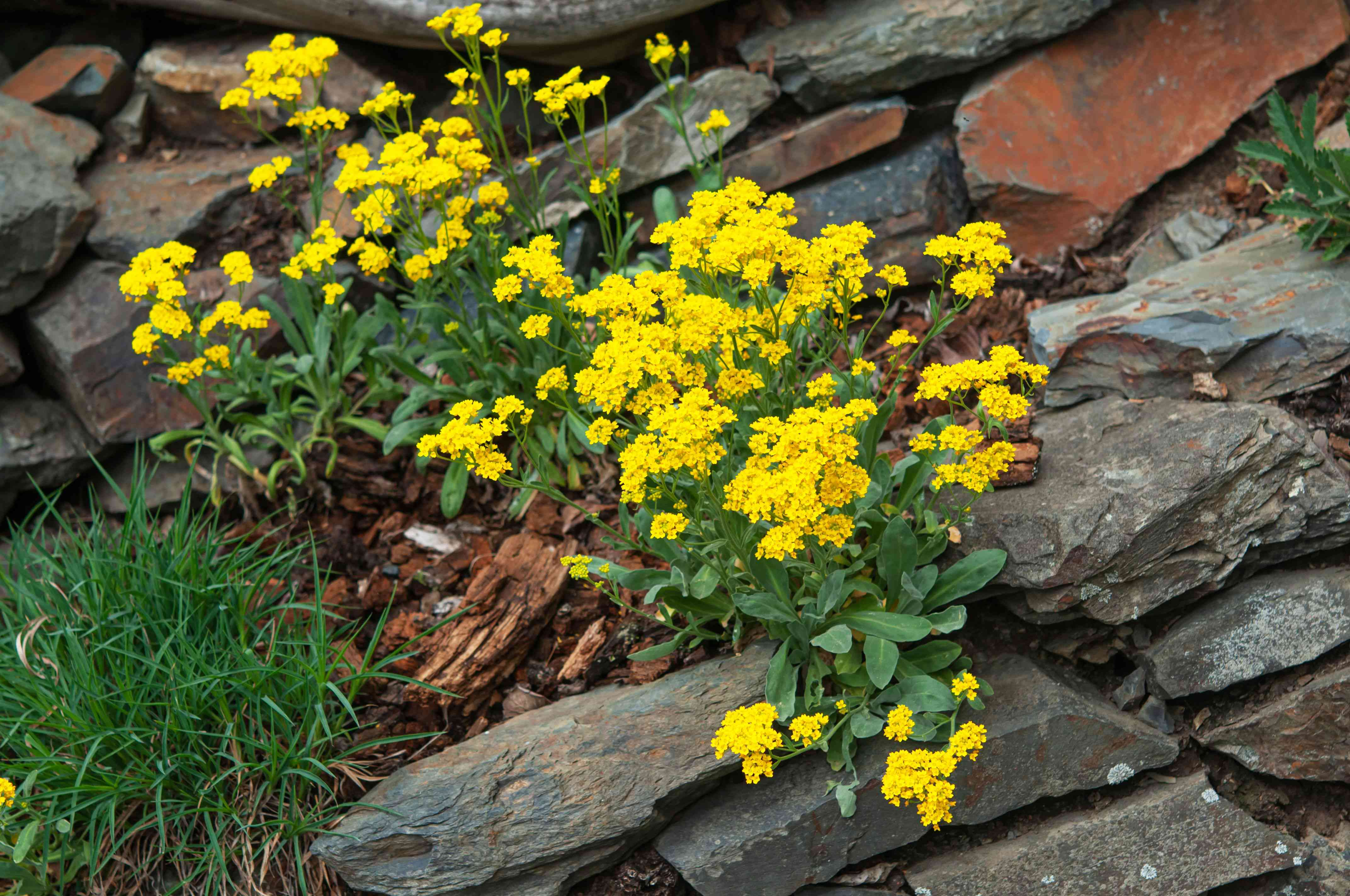 Yellow alyssum plant with small yellow flower clusters surrounded by rocks and grass