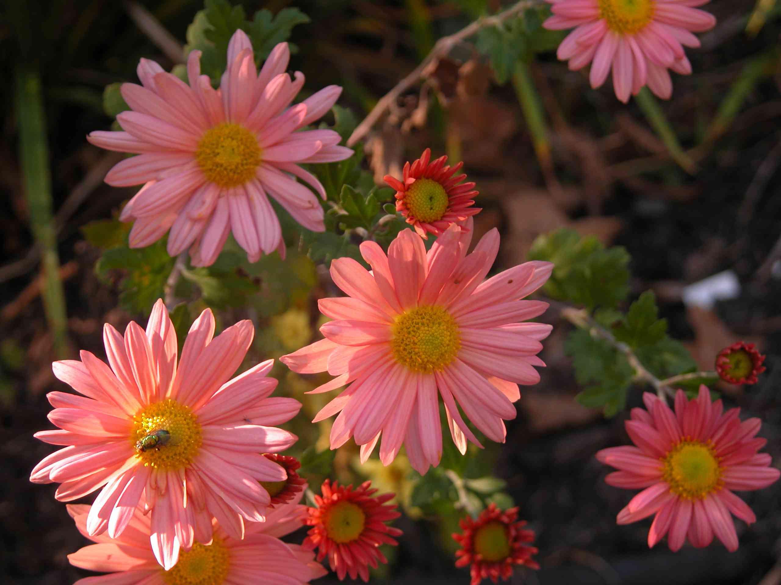 Daisy Type Garden Mum