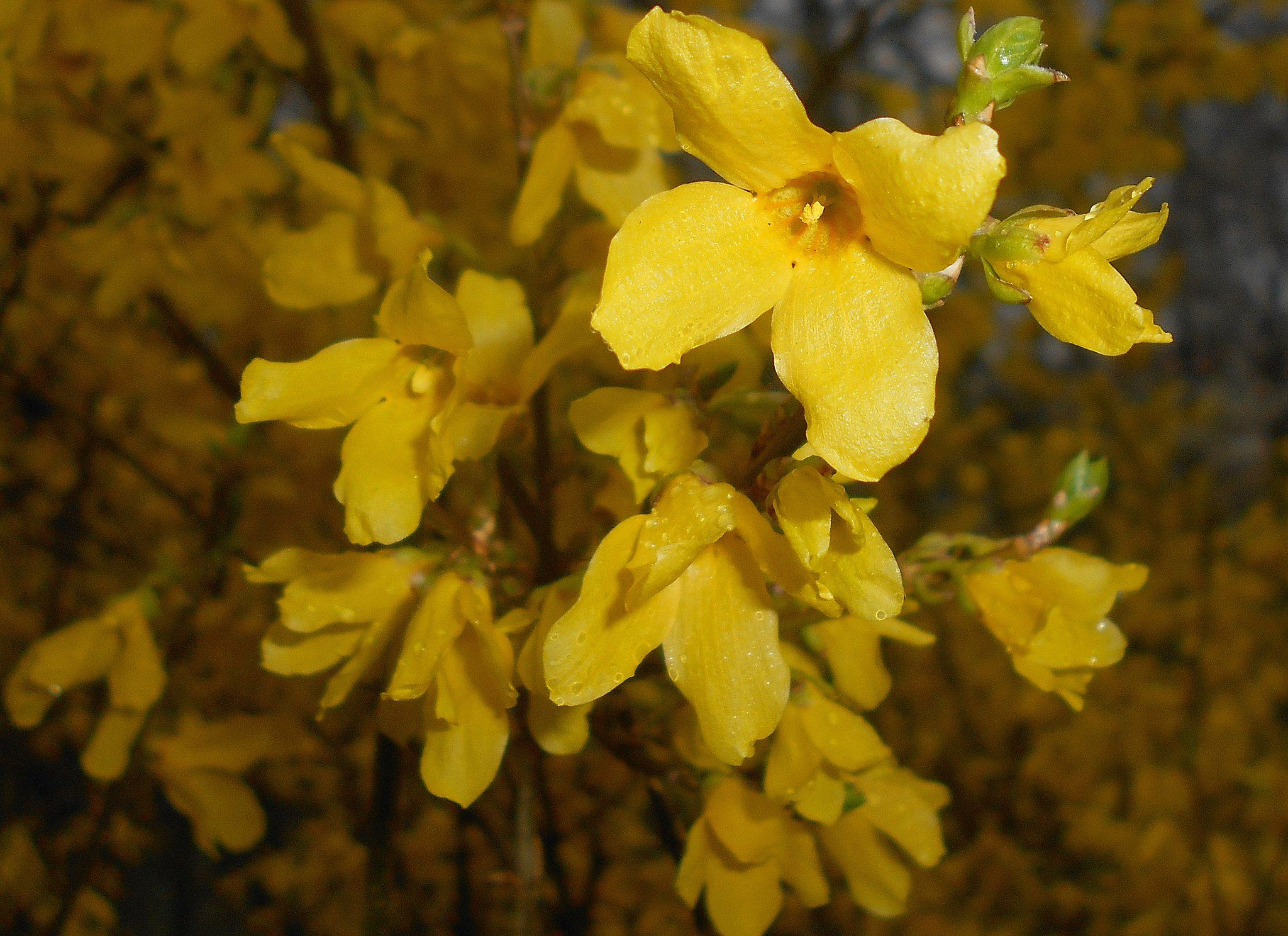 How To Grow And Care For Forsythia Bushes