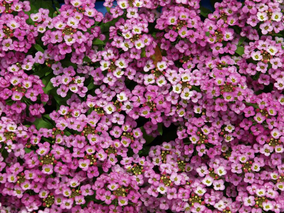 Purple Sweet Alyssum