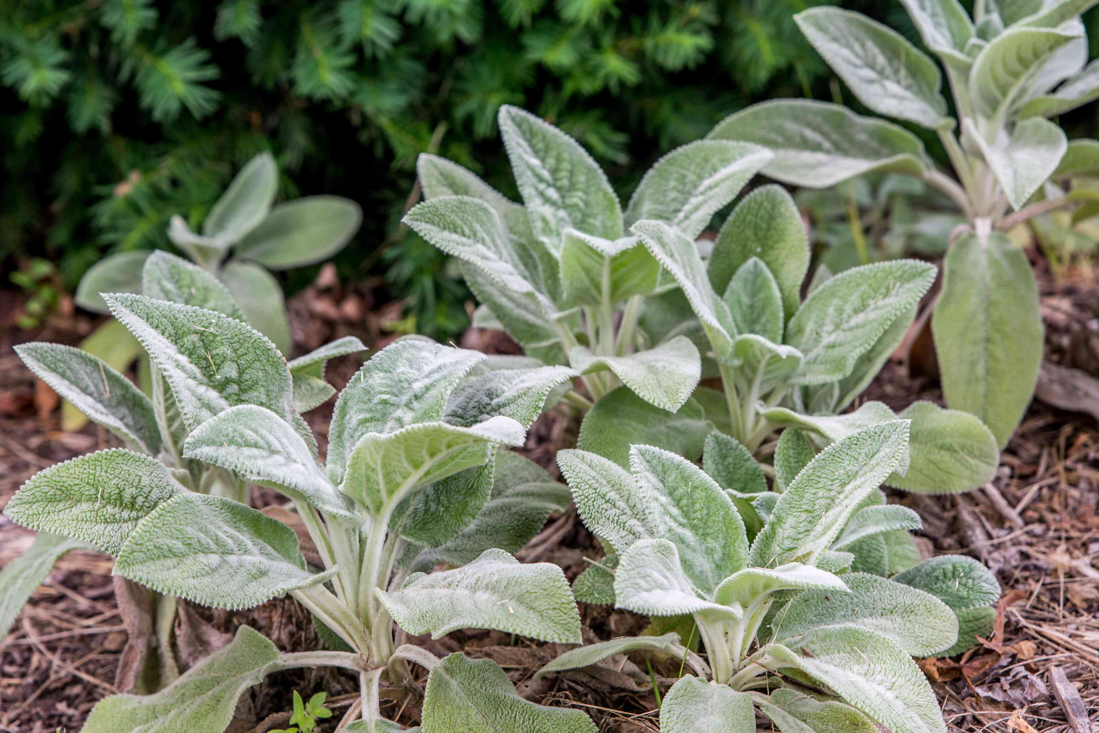 Tips for Caring and Controlling Lamb's Ear