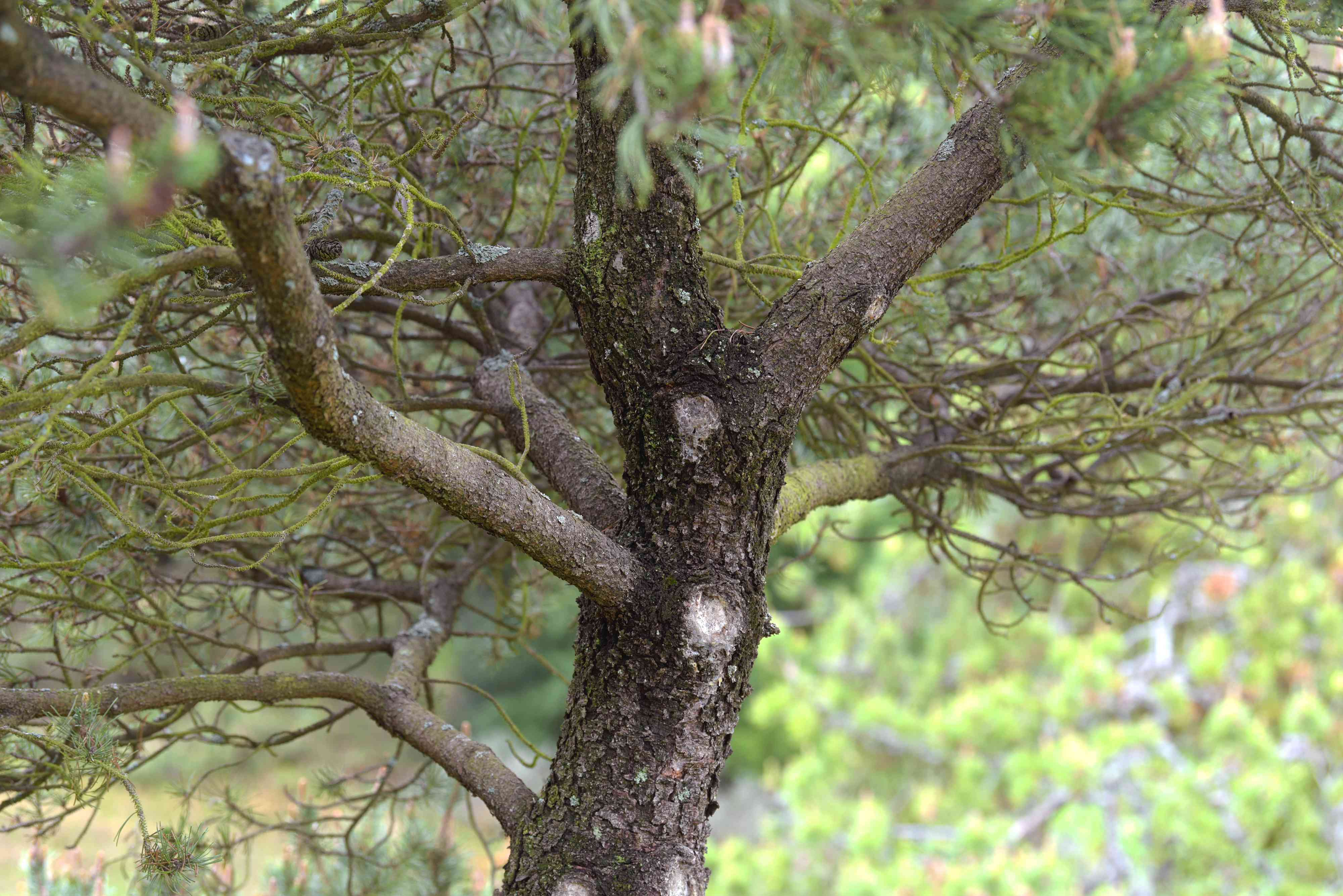 Lodgepole pint tree with dark bark on trunk and twisted branches