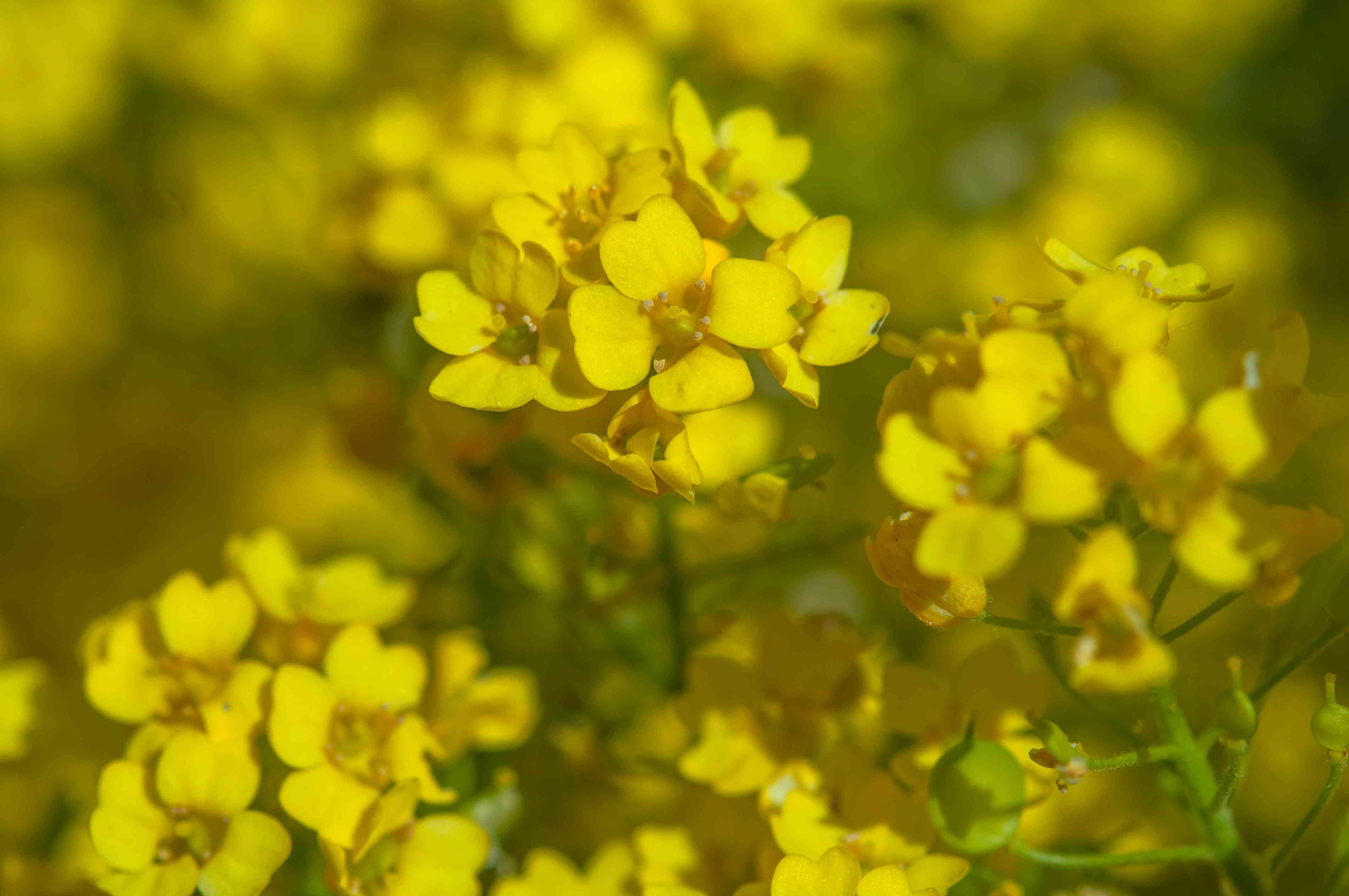 Yellow alyssum flowers in sunlight closeup