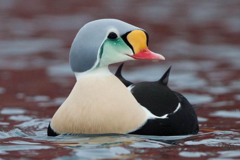 King Eider Duck Drake
