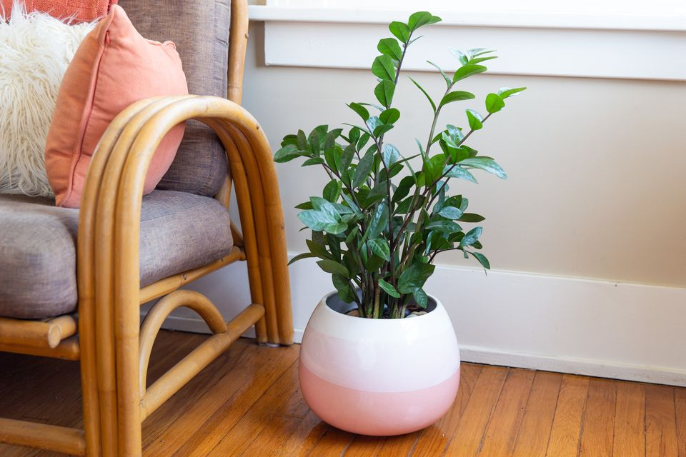potted zamia plant