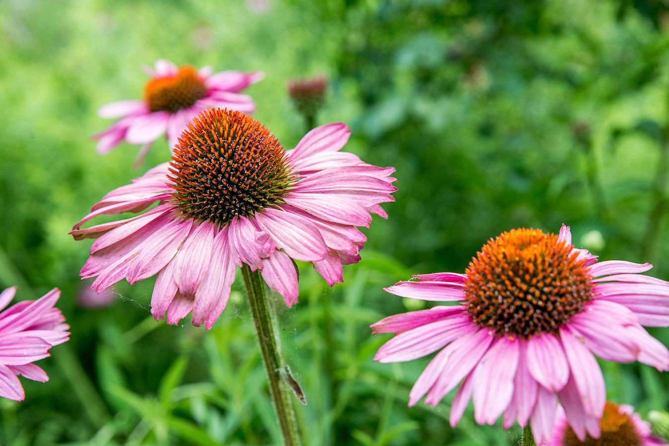 Coneflower plant with pink daisy-like flowers with orange cone-shaped centers closeup