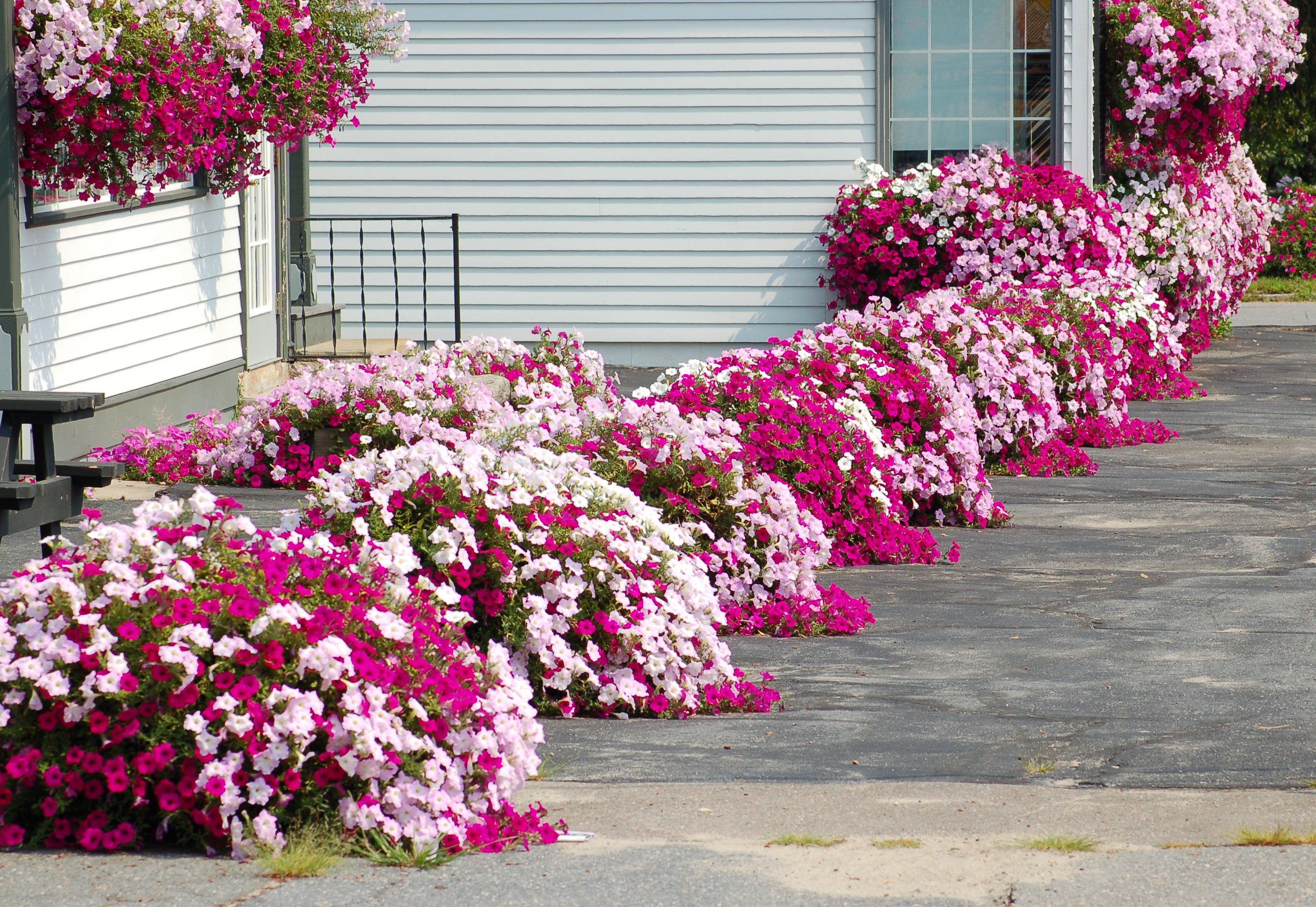 Photo of a flower border of just petunias.