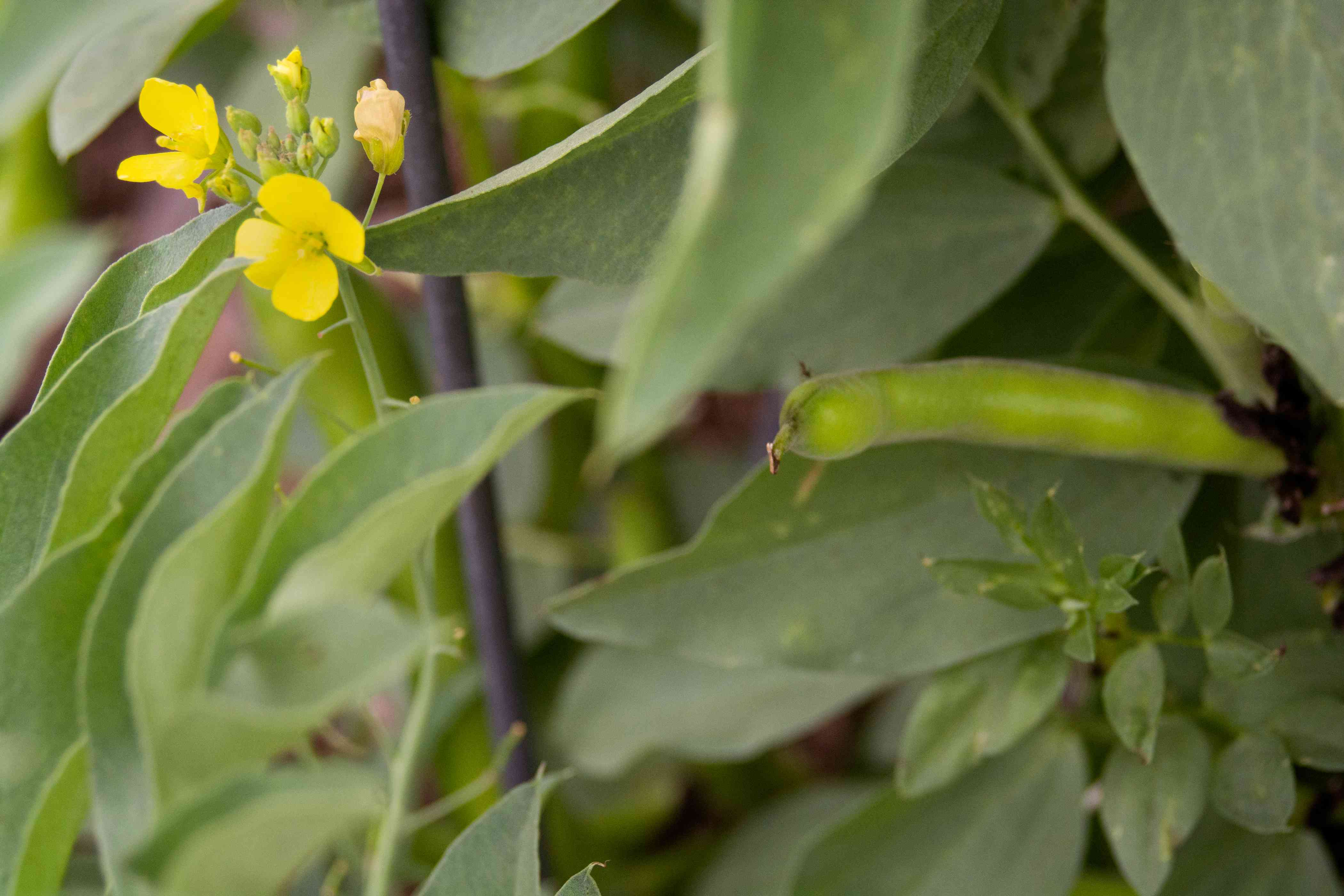 Fava bean plant with green pod next to small yellow flowers closeup