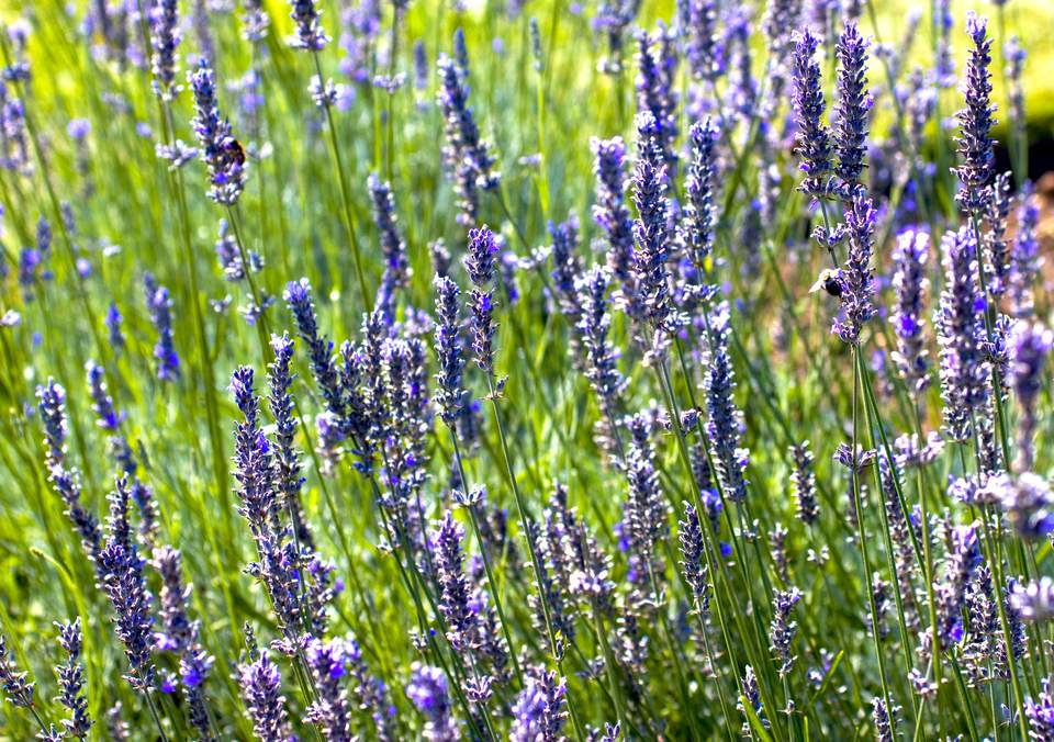 A field of English lavender or lavandula angustifolia, both a ground cover and an herb, blooming and massed together