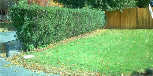 Picture of privet hedge and privacy fencing.