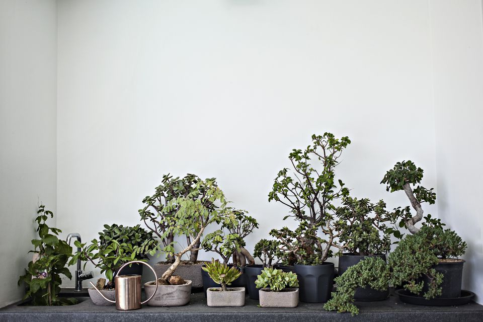 A small collection of different types of bonsai trees sitting on a black counter againt a white wall.