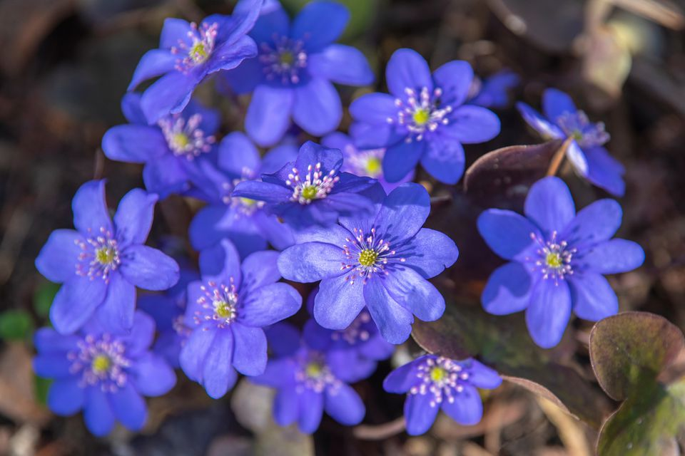 Hepatica plant with blue-purple dainty flowers