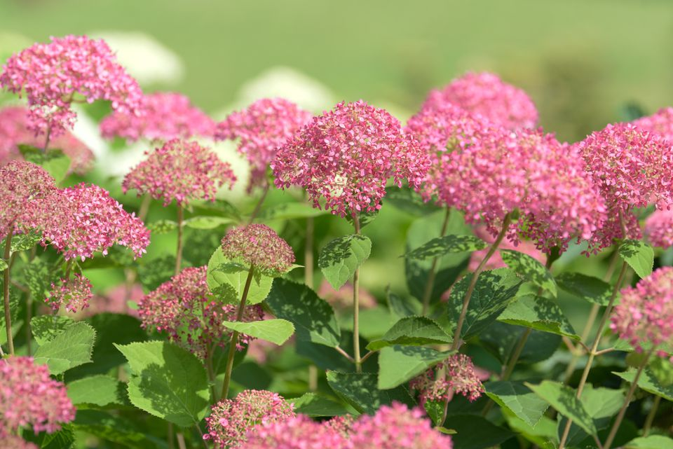 'Invincibelle spirit' hydrangea shrub with small pink flower head clusters on tall thin stems in sunlight