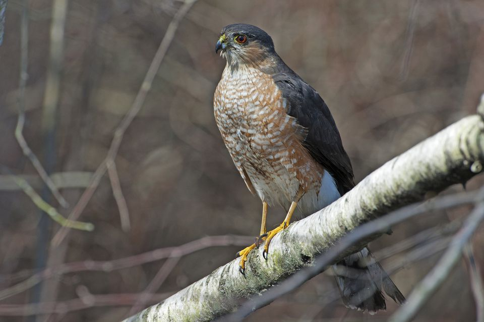 Adult sharp-shinned hawk perched after bath